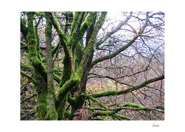 Mossy Woodlands