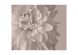 Chrysanthemum  Sepia Close-up