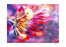 Flamed Chrysanthemum