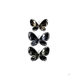 Mottled Moth
