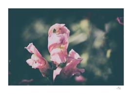 Lupinus Luteus Pink