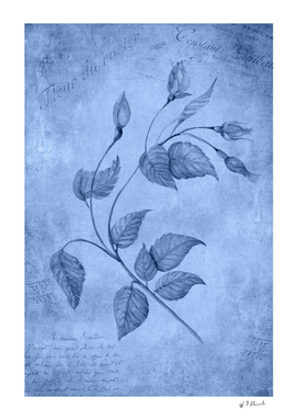 Rose, Cyanotype