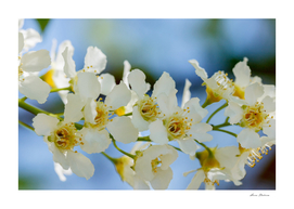 Cherry flowers close-up branch - image