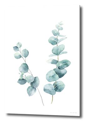 Eucalyptus Twigs