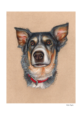 Australian Shepherd Colored Pencil Drawing
