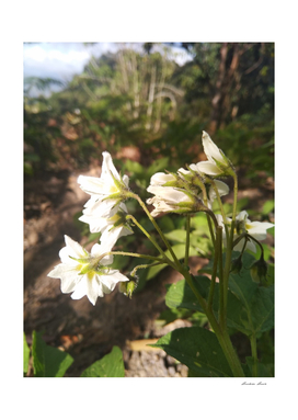 white flower potato