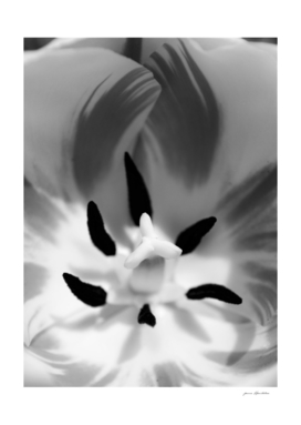 Monochrome Tulip Close-up