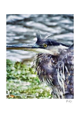 Windblown Blue Heron