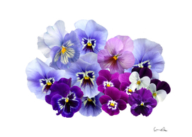Pansy isolated violet nature