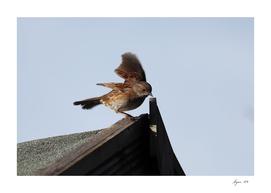 Hedge Sparrow 01