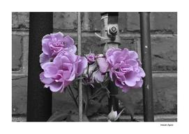 Industrial Roses
