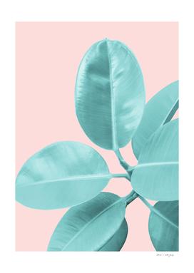 Ficus Elastica Pastel Blush Glam #1 #tropical #foliage