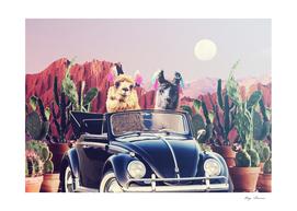 Llamas on the road
