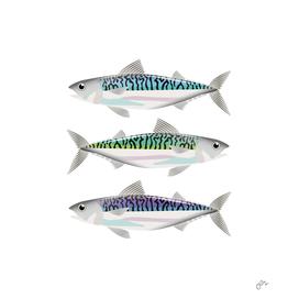 Colourful mackerel