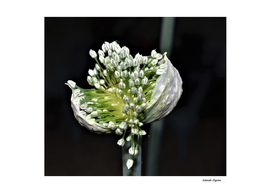Flowering Spring Onion
