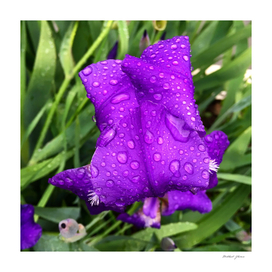 Purple Flower & Raindrops