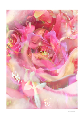 closeup blooming pink rose texture
