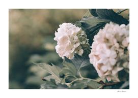 Viburnum flowers closeup springtime vintage style