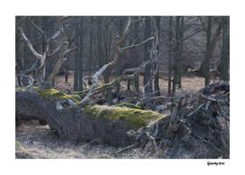 Dyrehaven old tree