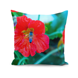 Bee eating nectar from red poppy flower in spring
