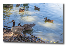 Wild ducks swimming in lake on sunny afternoon