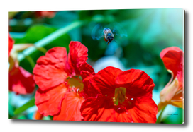 Bees flying with fast moving wings on top of poppy flower
