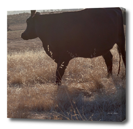 Black cow with long shadow grazing on hill at sunset
