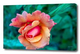 Pink Rose flower blooming in spring afternoon