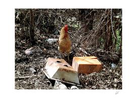 Chicken at garbage