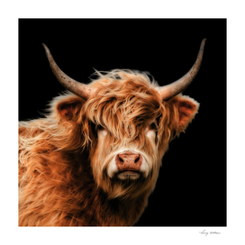 Highland Cow in Colour