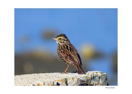 Male Savannah Sparrow