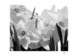 Daffodils BW