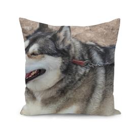 Husky Alaskan Dog with leash