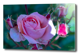 Fully grown Pink Rose Flower partially in shades