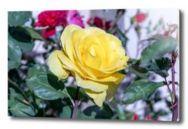 Beautiful yellow rose shinning bright in garden in spring