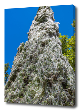 Close up of Pine tree covered with cobweb