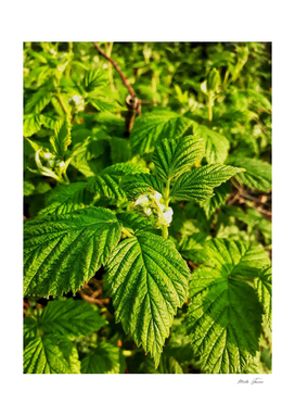 Raspberry leafs