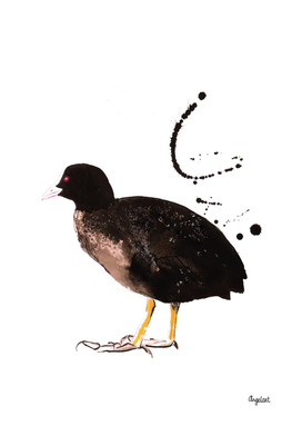 Coot special bird illustration
