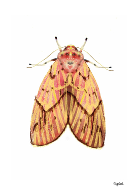 Moth pink yellow on white background