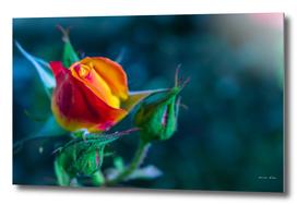Gorgeous Orange Rose bud blooming