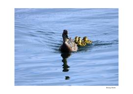 Mallard Duck Family