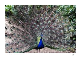 peacock bird feather plumage green