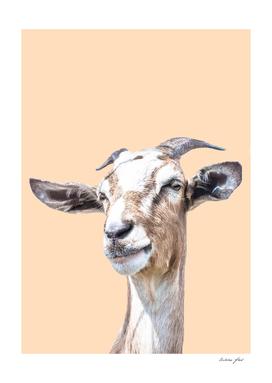 Orange goat