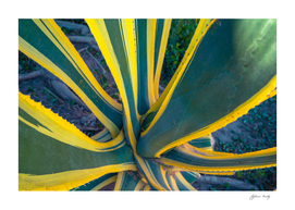 Sharp pointed agave plant succulent leaves pattern. Cactus