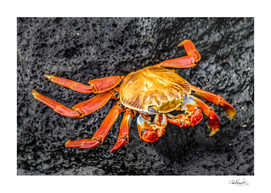 Colored Crab at Galapagos Island, Ecuador
