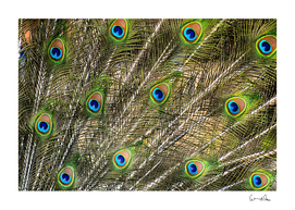 Green peacock feathers color plumage