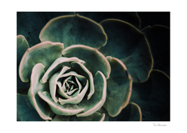 DARKSIDE OF SUCCULENTS IV-4a