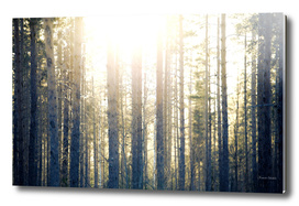 Sun illuminating fir trees