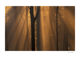 Sunshine in a misty beech forest