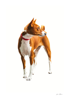 Basenji is a quiet African dog, full of grace and grace